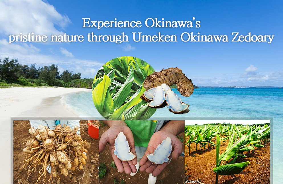 Experience Okinawa's pristine nature through Umeken Okinawa Zedoary